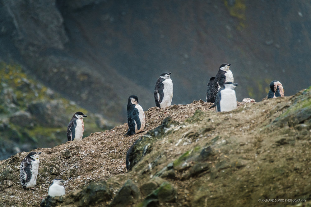 Bunch of Gentoo penguins doing...well nothing.