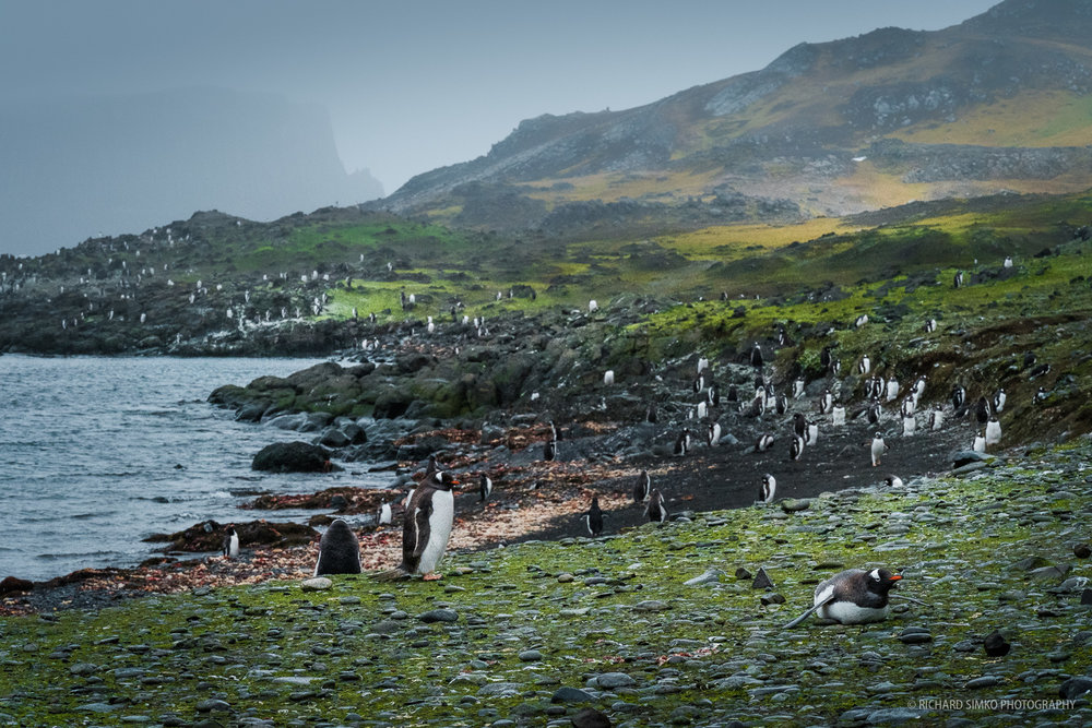 Gentoo penguin colony on the shores of Barrientos iIsland.