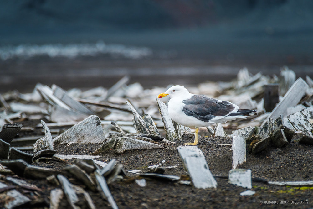 Birds also find shelters among all that decaying wood and whale bones.