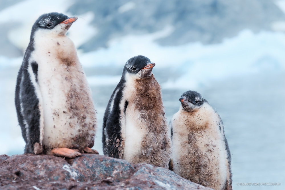 I believe the hygiene is not high on the agenda. A holy trinity of Gentoo penguin chicks.