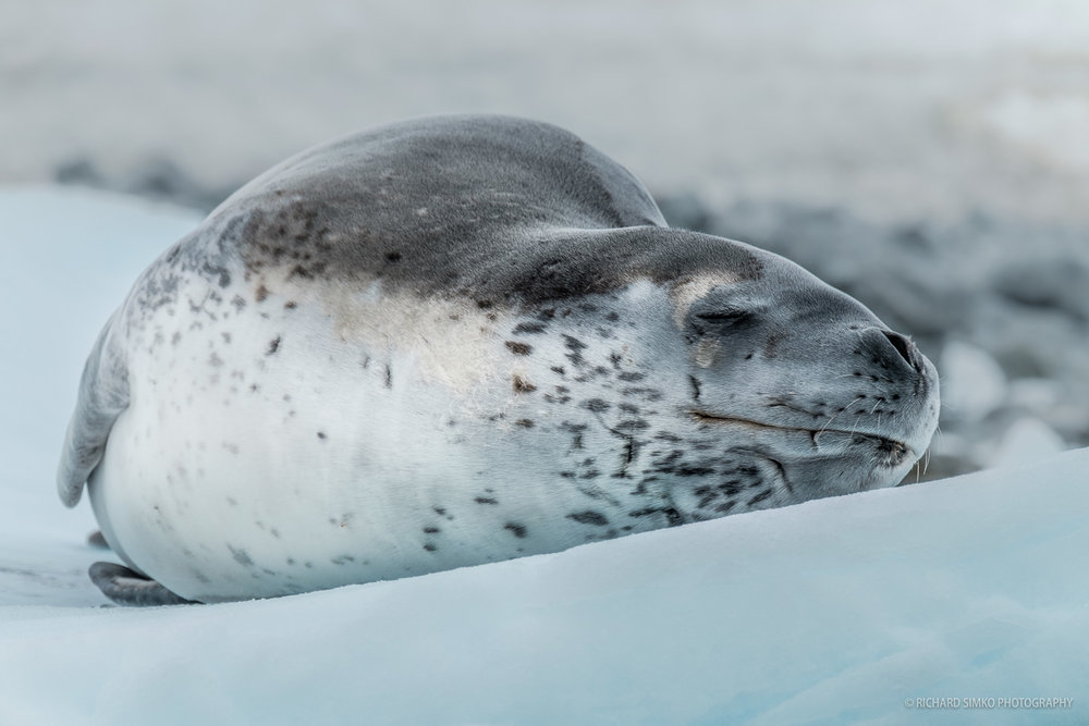 Leopard seal resting on the iceberg.