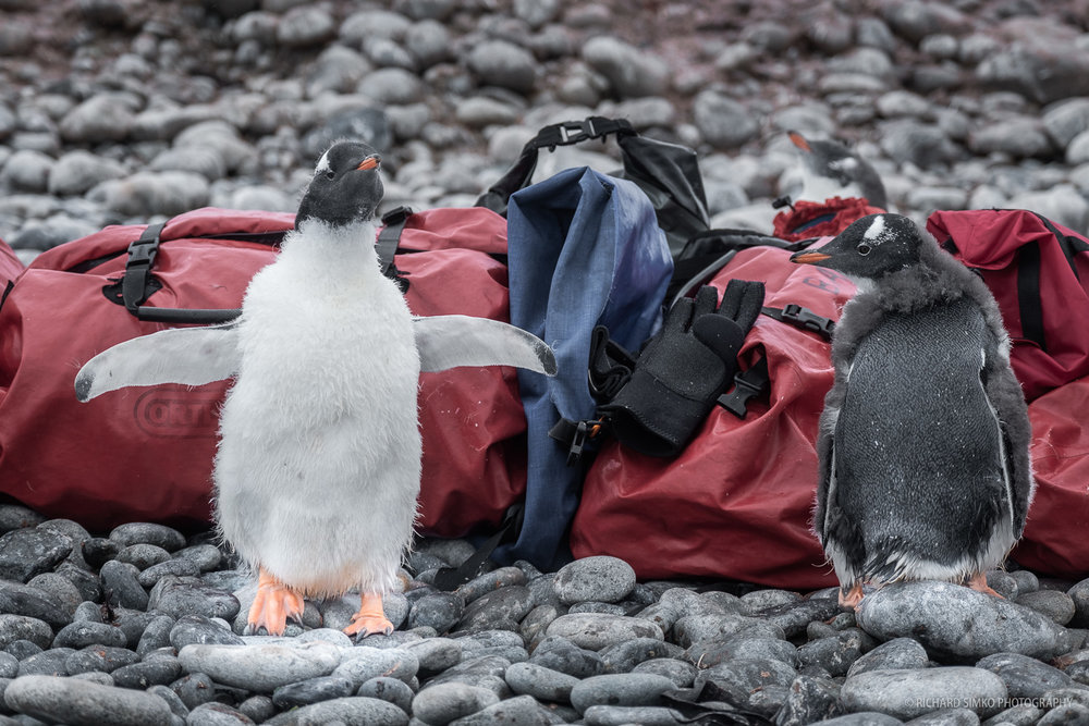 I guess it is no surprise that penguins are curious. This pair is checking out the red life jacket bags we left on landing site.