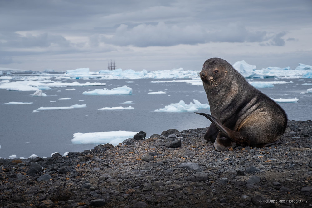 Antarctic fur seal is curiously looking at me with Europa drifting between the ice in the background.