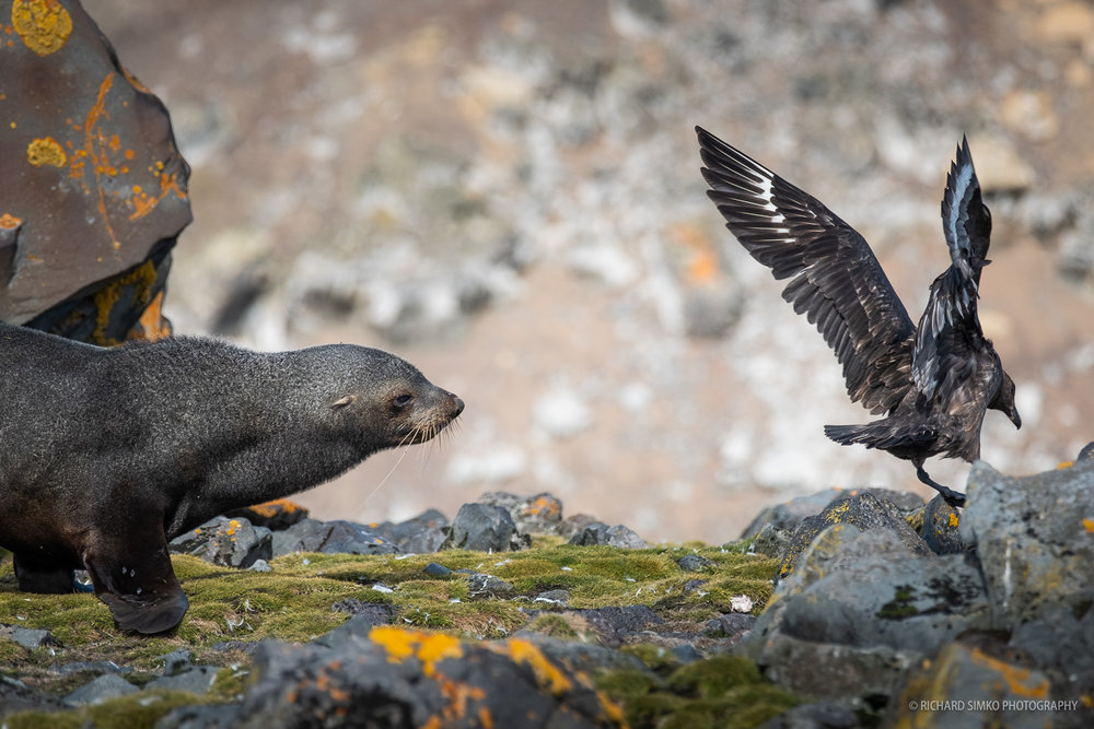 """When skua annoys the seal the chase begins. And it is fun to look at. Fur seal can be surprisingly agile as they have different bone structure in upper body compared to """"true seals"""" such as elephant or weddel seal."""