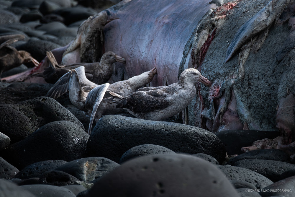 Giant petrels feast on the dead body of what seems to be a Southern bottlenose whale stranded ashore.