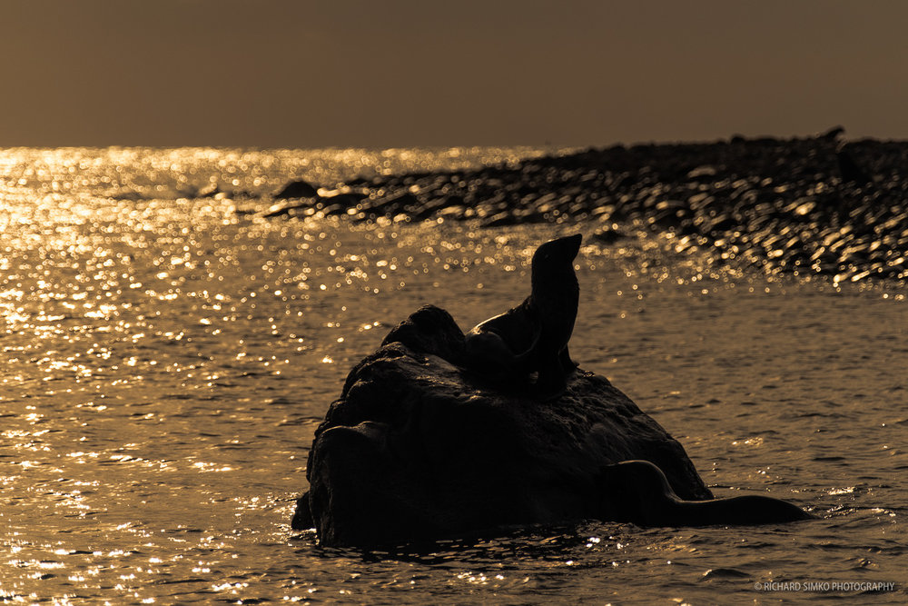 The late afternoon and low sun create a very dreamy scene with seals playing on a rock close to the beach.