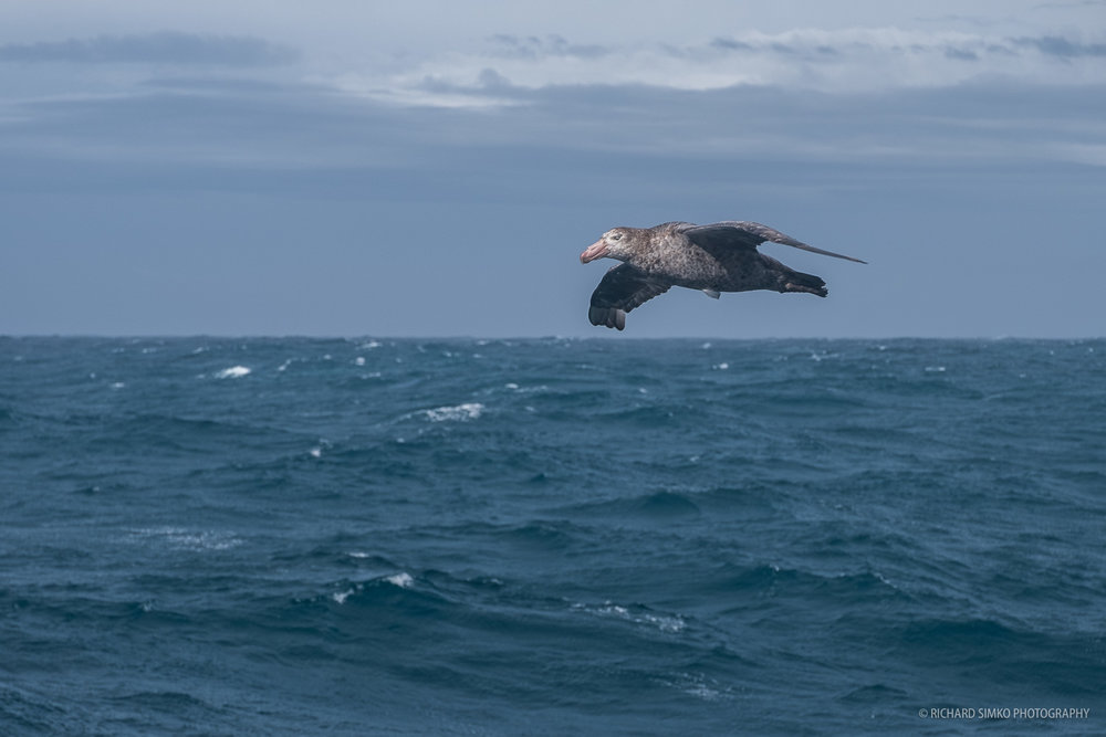 A giant petrel is flying by the ship at Scotia Sea.