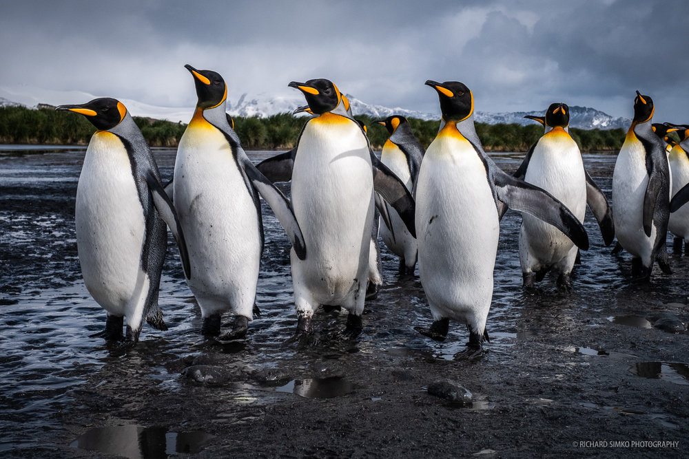 A group of king penguins are returning to the sea and making their way to the main colony. They are curious and not afraid of us at all. As long as we stay still, they walk by very close to us giving an excellent opportunity for close ups even with wider lens.