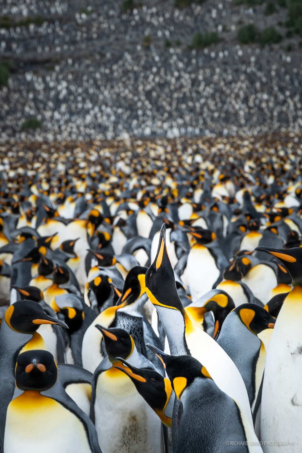King penguin colony at Salisbury Plane in South Georgia is the second largest colony with about 80.000 birds.