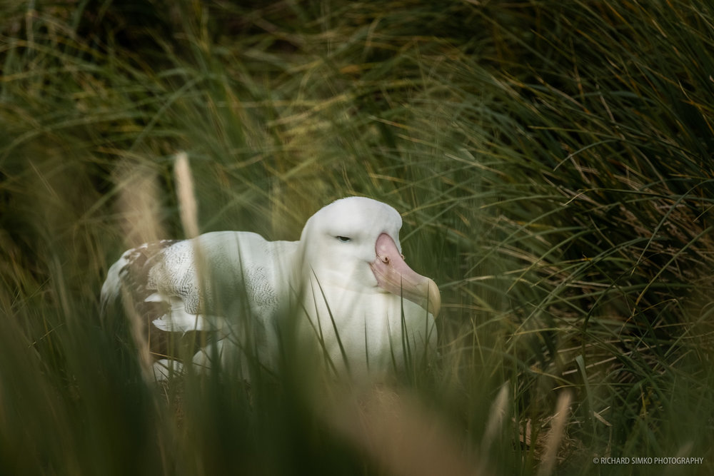 Albatross sitting on the nest in the middle of tussac gras on Prion Island. They spend most of their life flying around and on the sea.