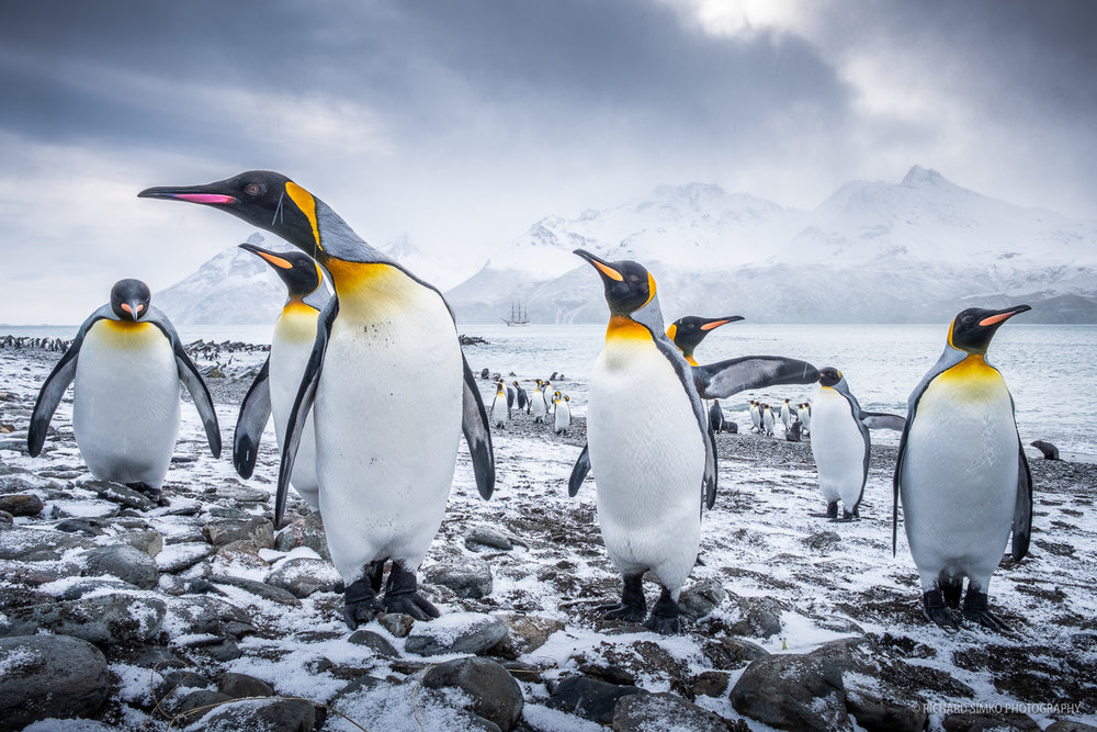 King penguin welcome committee at landing site in Whistle Cove.