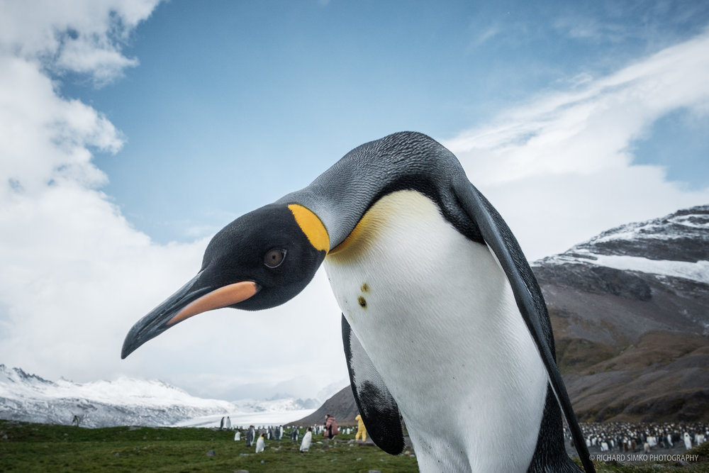 I can stay 5 metres away from wildlife and respect the rules, but how do you explain it to a curious king penguin when they want to come close.