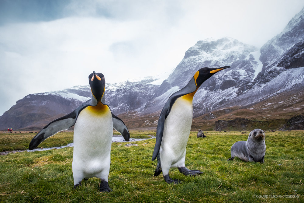 A pair of king penguins and fur seal pup on a huge grass field in Whistle Cove.