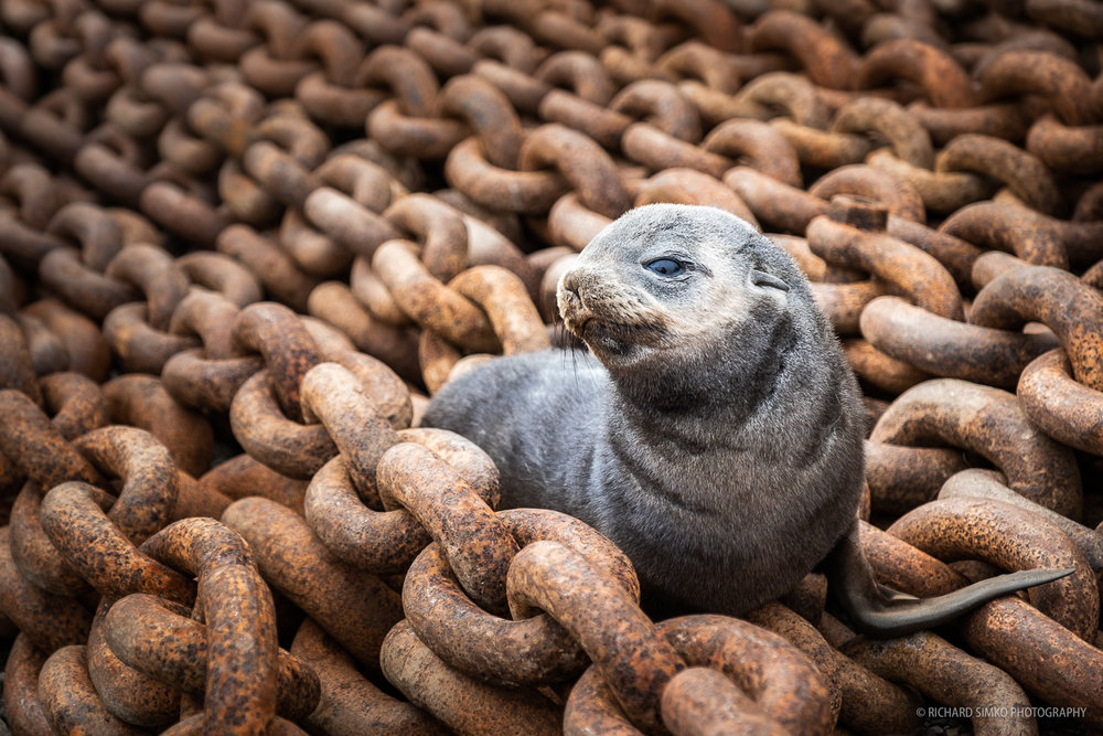 A antarctic fur seal pup thought these huge chains can be a good spot for some rest.