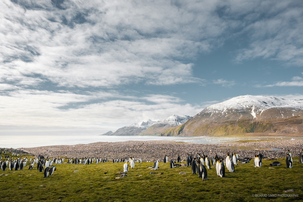 The size of the king penguin colony in St. Andrews is staggering. About 200.000 breeding pairs. It is a spectacular view.