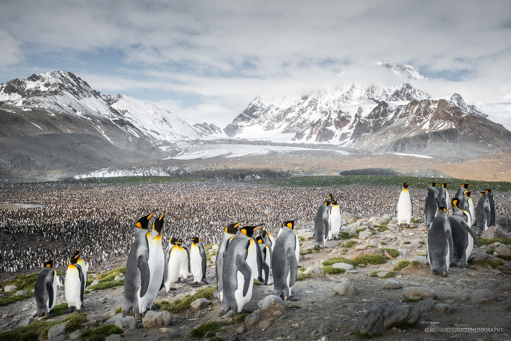 A different view of the king penguin colony in St. Andrews. If you take the previous photo into account you can appreciate the size of it.
