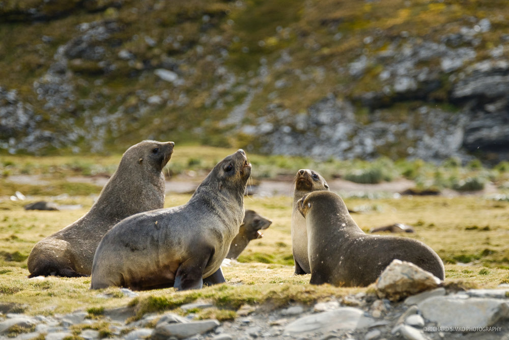 Antarctic fur seals are playing on green mossy/grassy patch. Photo taken during our last landing in South Georgia, Moltke Harbour.