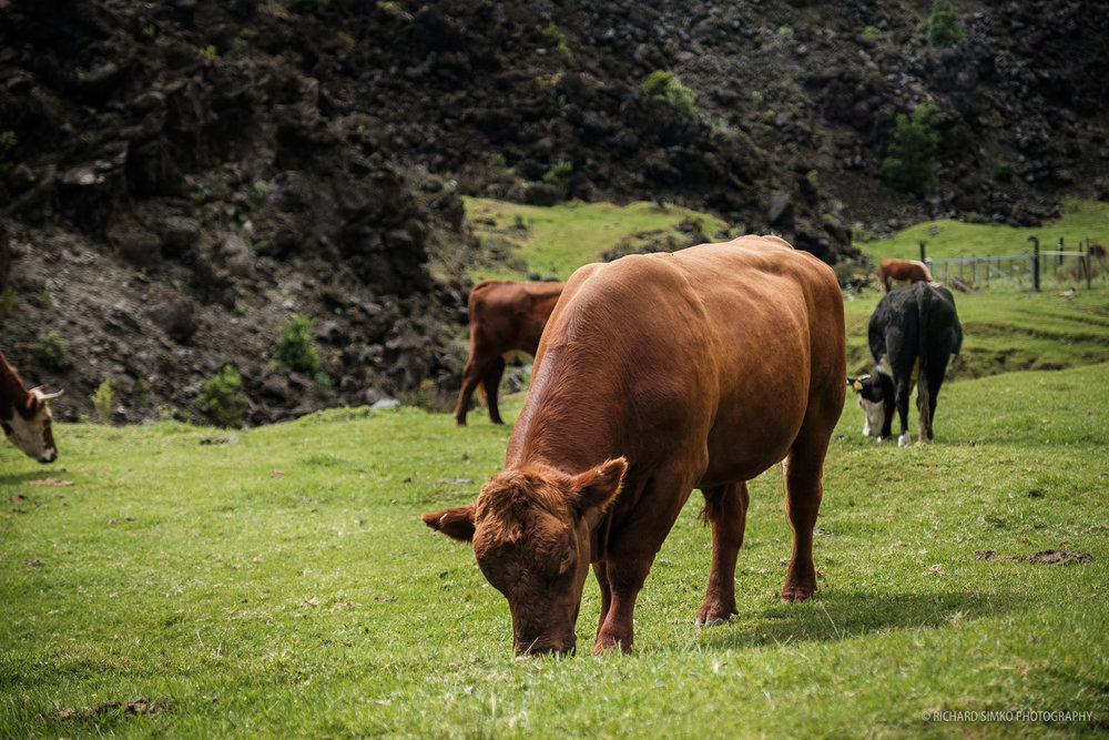 There is lots of cattle on the island too.