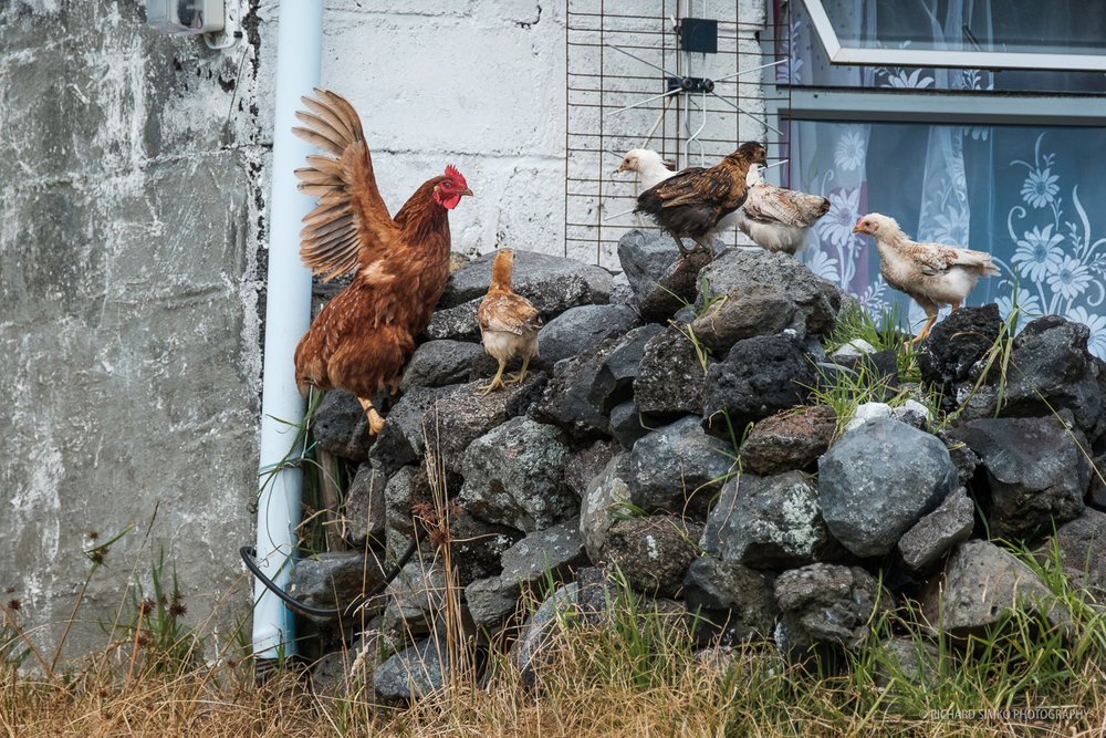 And to complete the domestic animals list are the chickens.