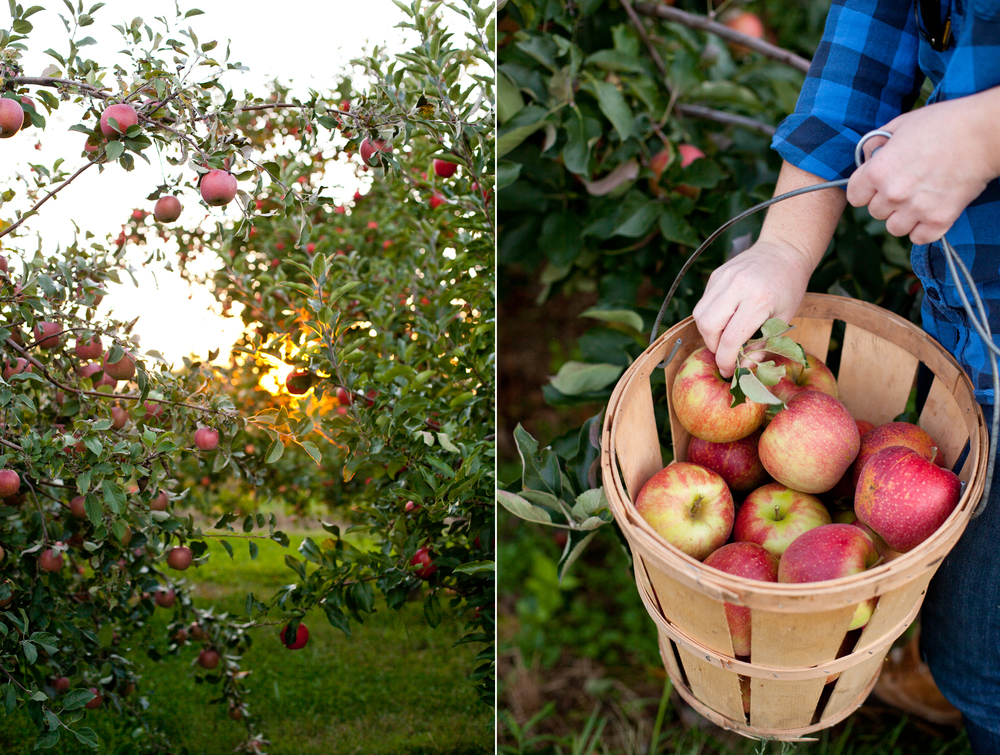 Apple-Picking-03.jpg