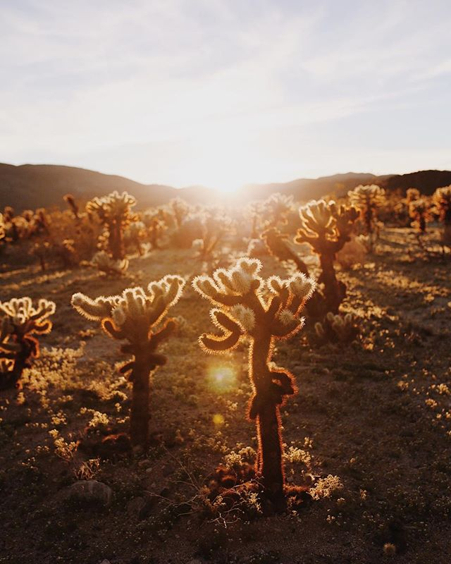 spent the day in @joshuatreenps and ended in the cholla cactus garden at sunset. The desert is weird and strange and has magical light 👌🏻 • • • • • #aquietstyle #mytinyatlas #thatsdarling #darlingweekend #ABMtravelbug #suitcasetravels #tlpicks #dametraveler #liveauthentic #flashesofdelight #seekthesimplicity #momentsofmine #lovelysquares #pursuepretty #thehappynow #joshuatree #desertvibes