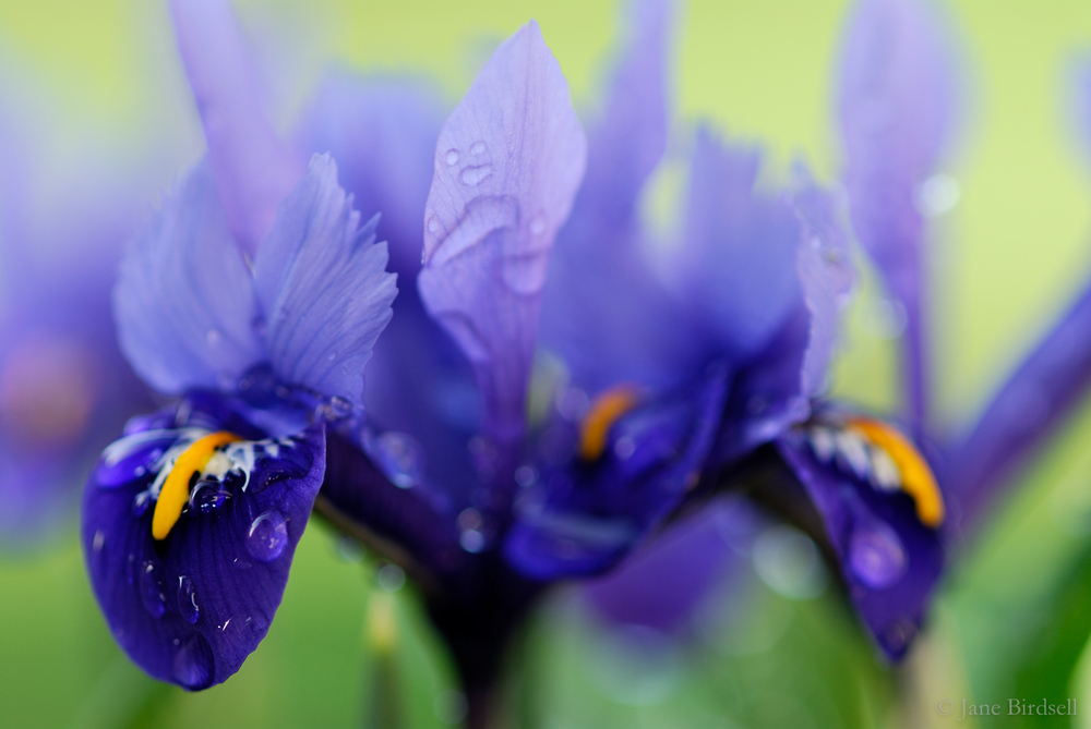 Iris 'Harmony', February shower: £45 (A4)