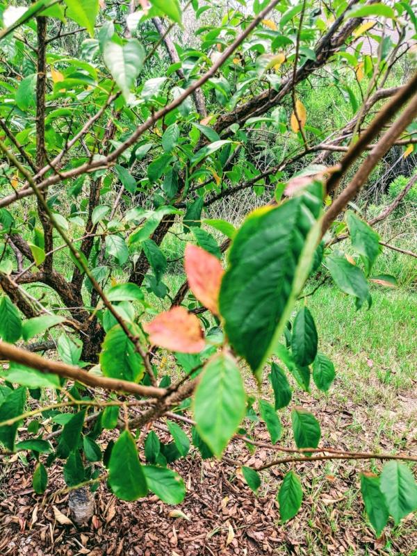 Scott's fledgling plum tree