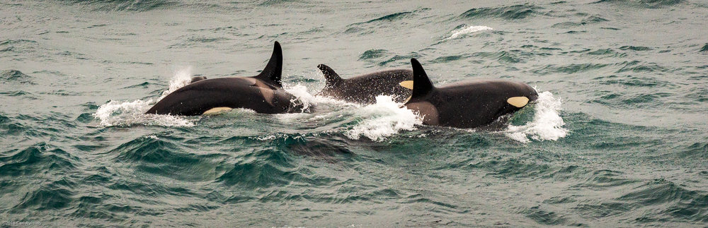 Orca Whales.
