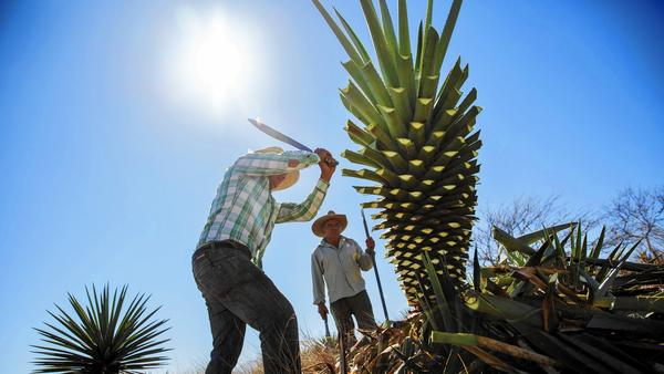 Distilling mescal is a father-to-son tradition in Mexico  - The Los Angeles Times (Photo by Marcus Yam)