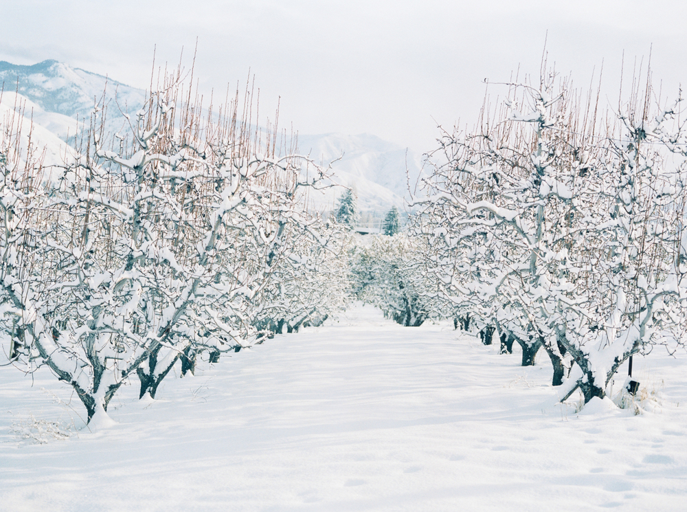 Pear Orchard covered in snow, by Leilanika Abalos. Cashmere, Washington.