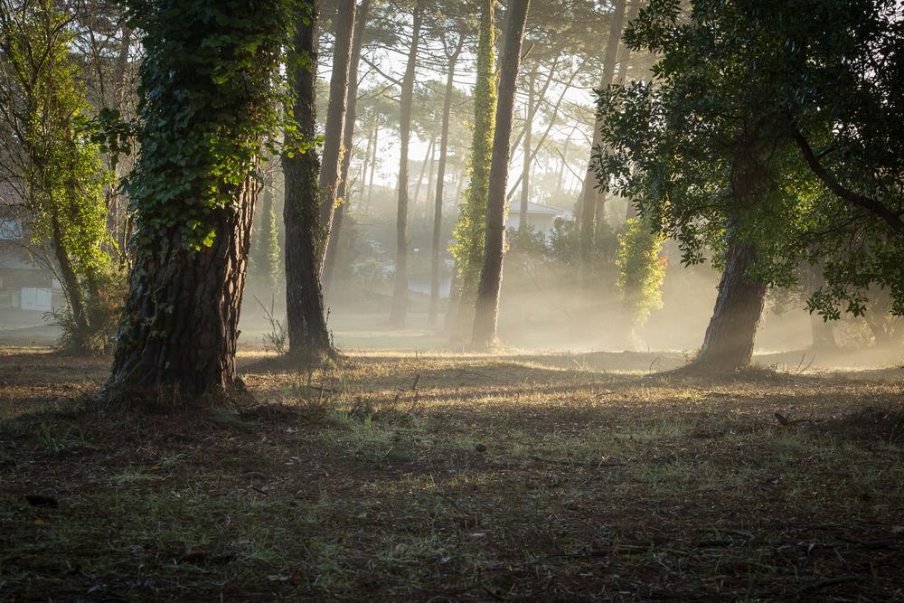 Brume matinale dans le sous bois