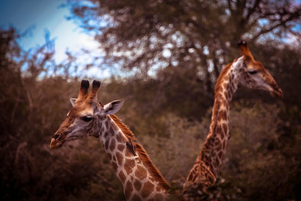 safari051.jpg