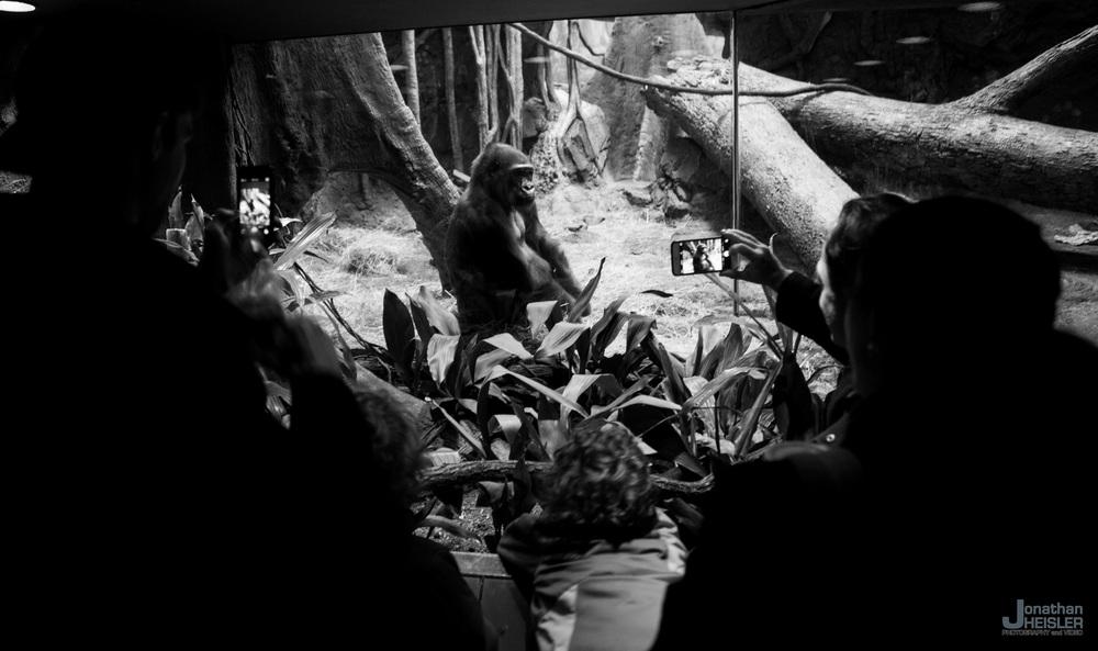 Bronx Zoo Gorilla.jpg