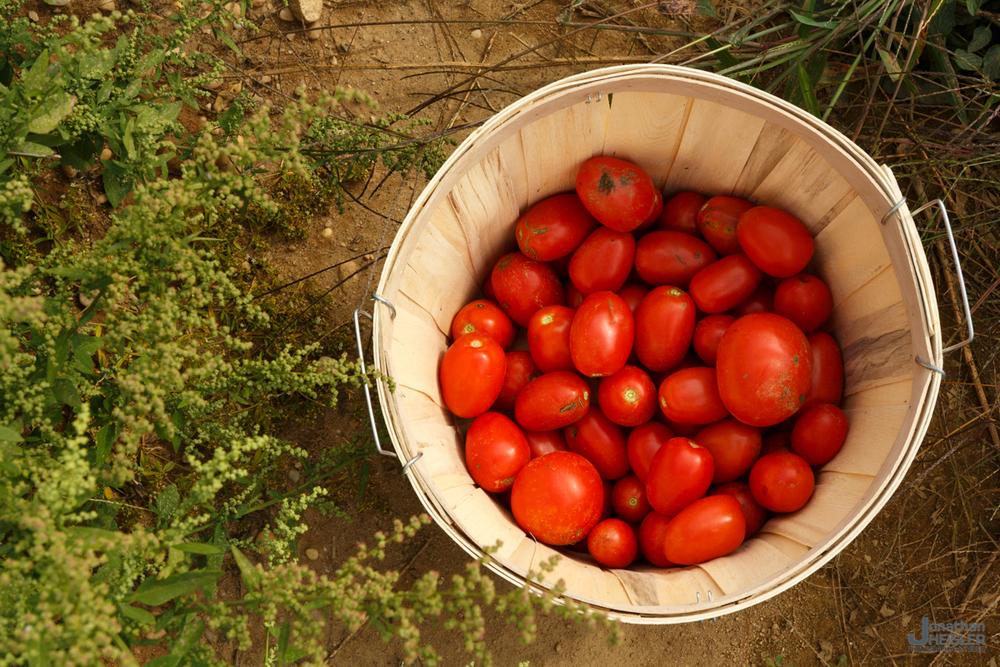 Lewin Farms Tomato Picking _ Long Island _ Jonathan Heisler.jpg