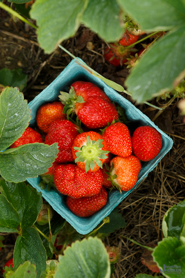 North Fork Long Island Strawberries