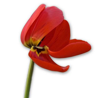 tulip fading