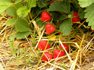 strawberry plant-3