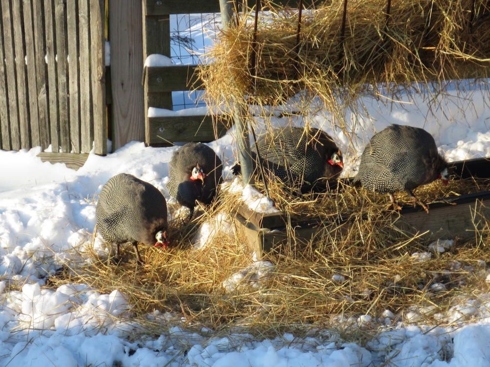 guineas in the feeder sm.jpg