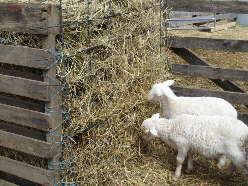 sheep barnyard feeder side copy.jpg