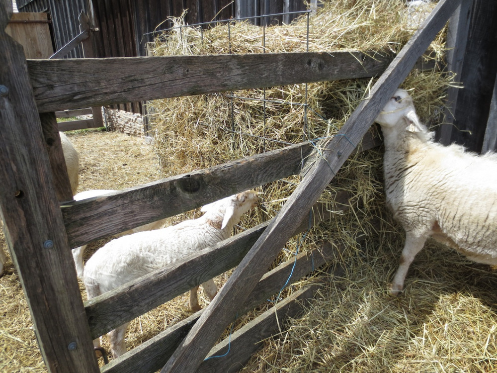 sheep barnyard feeder fence copy.jpg