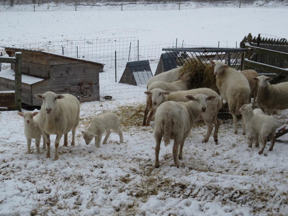 flock in march snow copy.jpg
