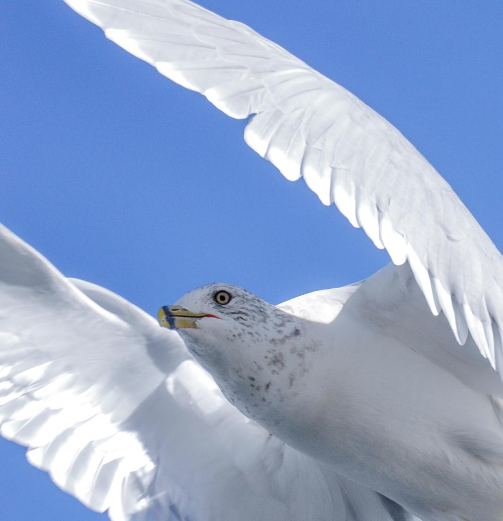 Seagull_7.jpg