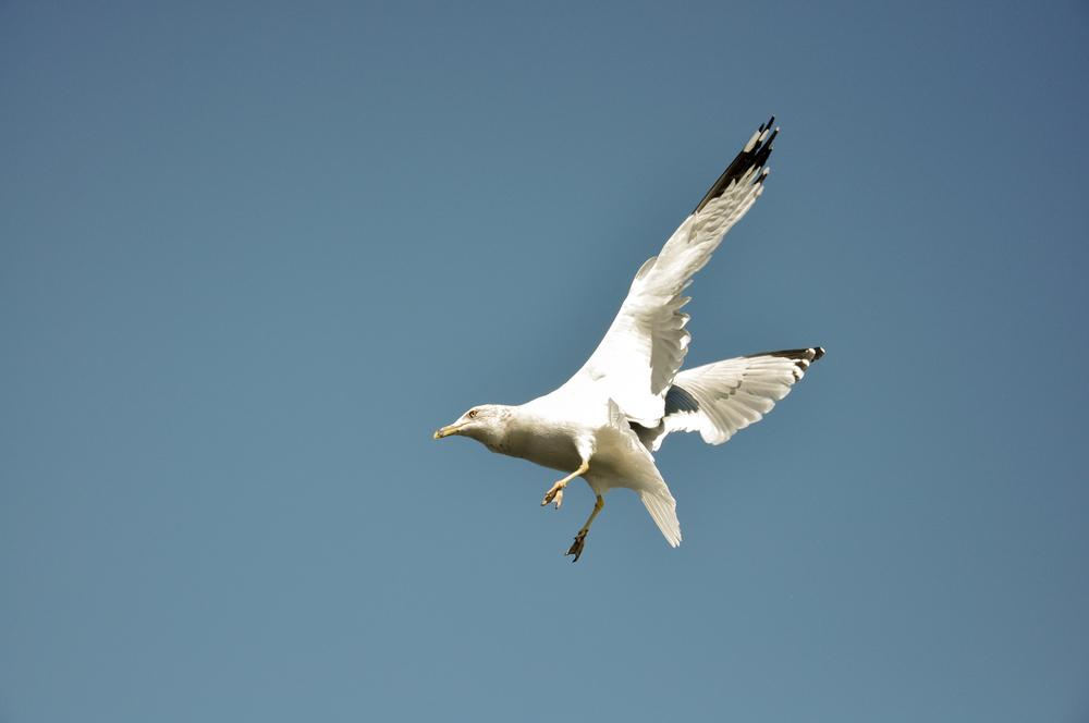 Seagull_6.jpg