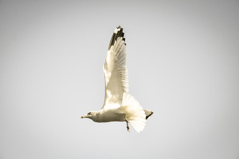 Seagull_10.jpg