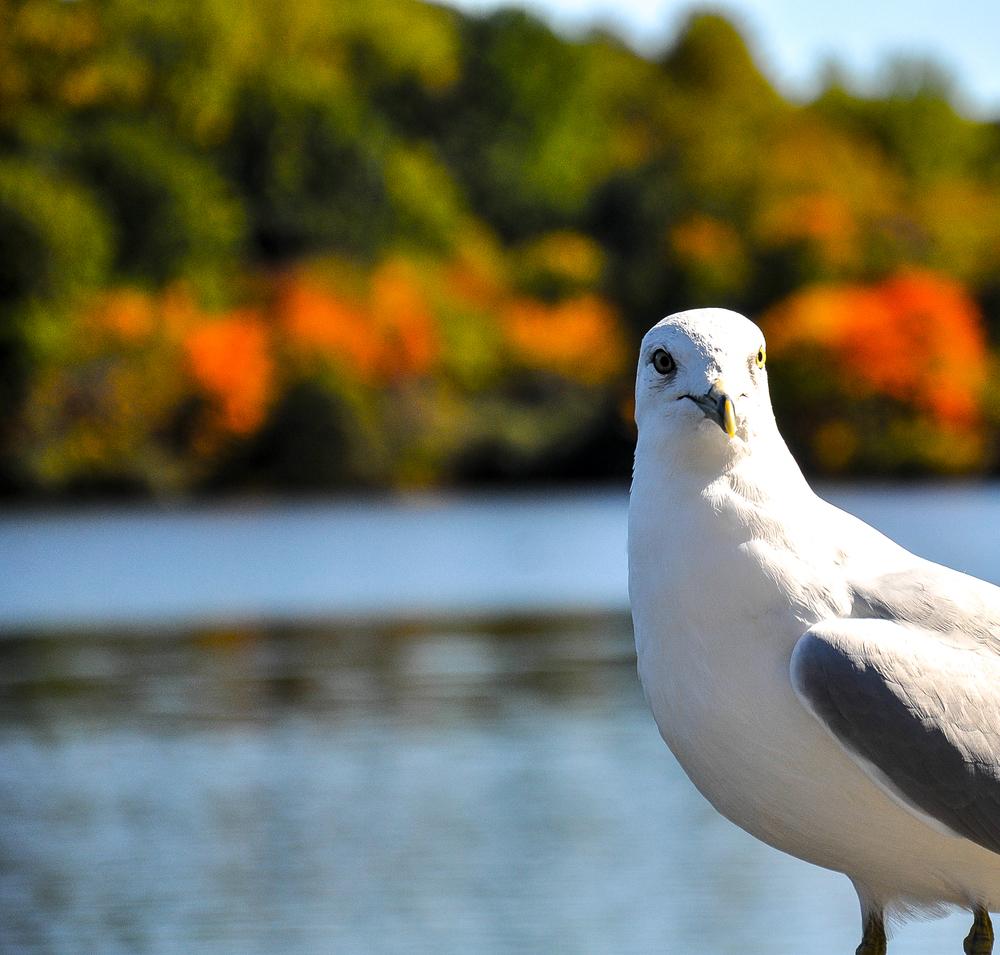 Seagull_11.jpg