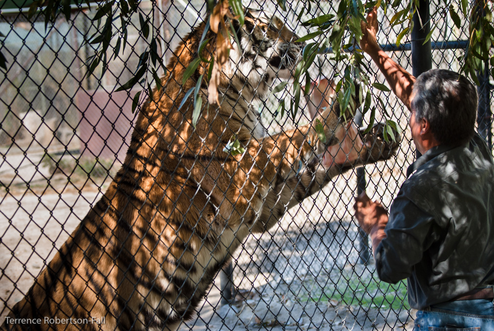 Chuy feeds Shere Kahn, Shambala Preserve, by Terrence Robertson-Fall