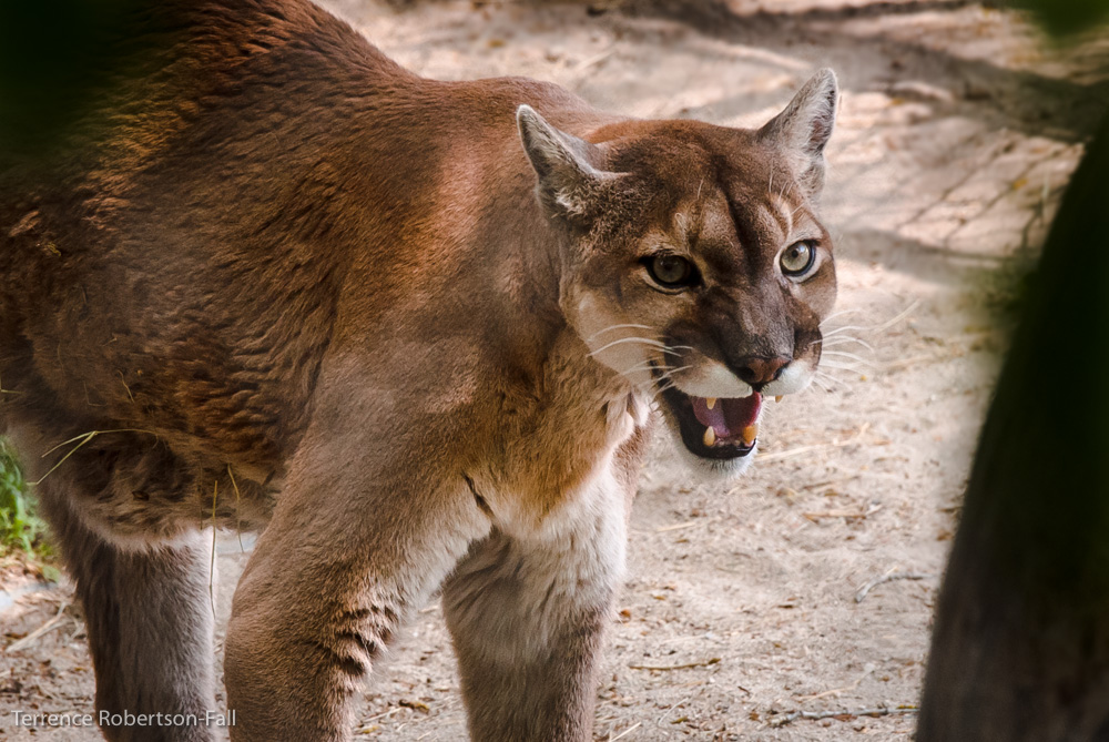 Daisy cougar is feeling cranky, Shambala Preserve, by Terrence Robertson-Fall
