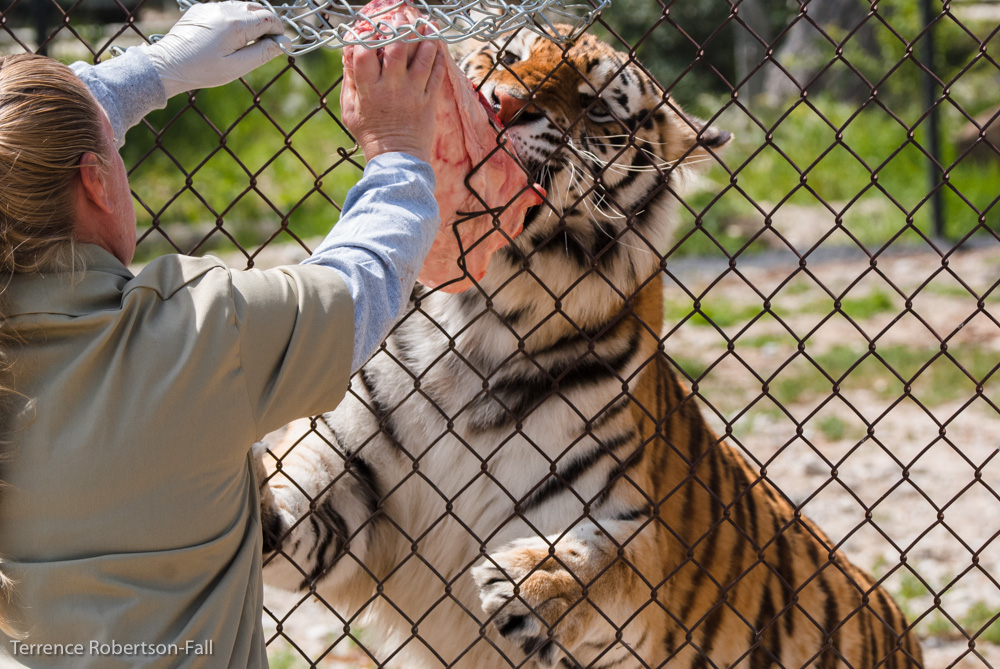 Gimme gimme gimme! - Sabrina tiger, Shambala Preserve, by Terrence Robertson-Fall