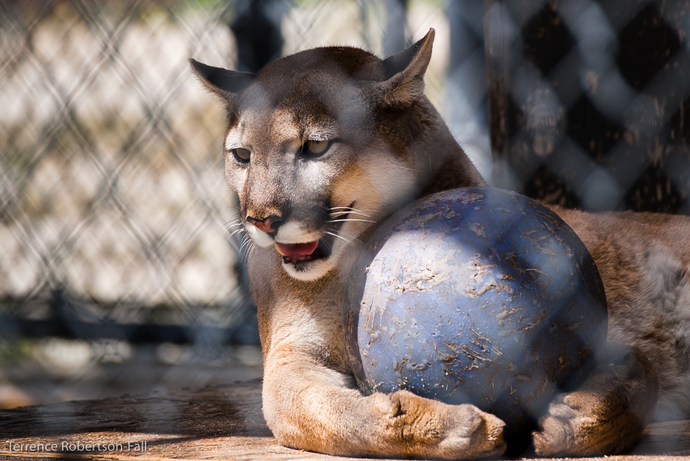 Anyone want to see a show? - Trinity cougar, Shambala Preserve, by Terrence Robertson-Fall