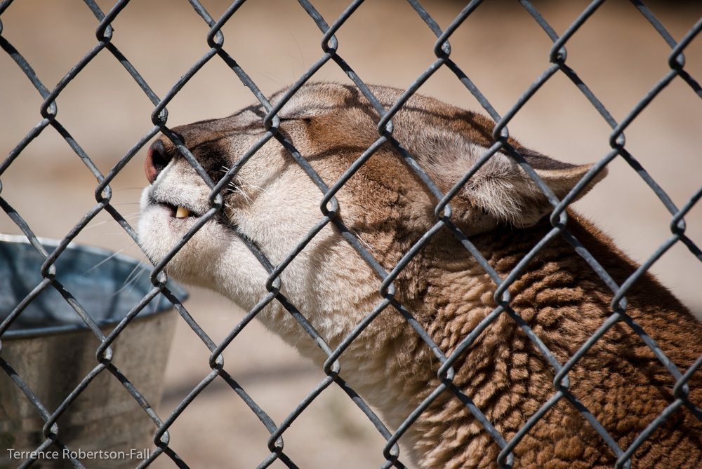 Purrrr! - Trinity cougar, Shambala Preserve, by Terrence Robertson-Fall